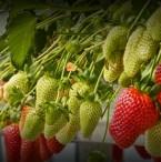 strawberry hydroponic crop