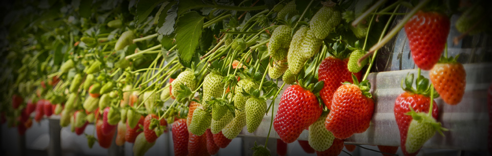 strawberry hydroponic crop