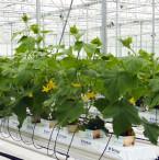 Hydroponic Greenhouse Cucumber Crop