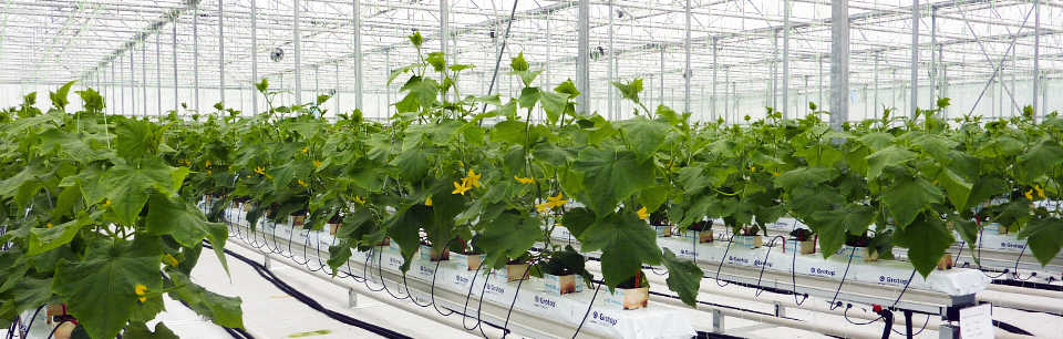 Hydroponic Greenhouse Cucumber Crop